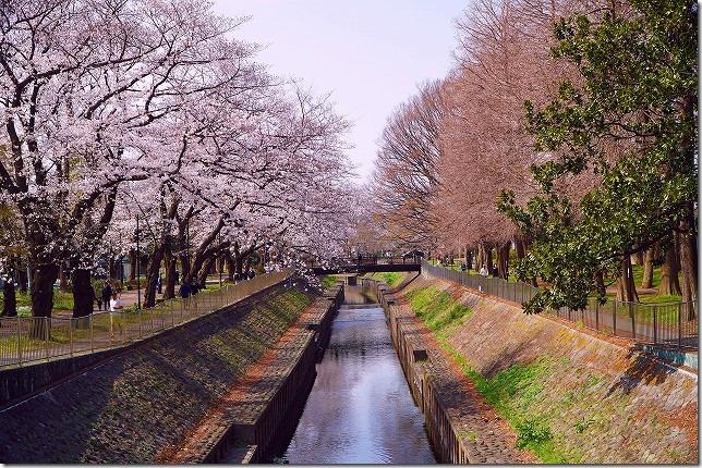 2020年 善福寺川緑地 桜 (東京都 杉並区)